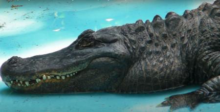 Muja, najstariji aligator, proslavio rođendan u beogradskom zoo vrtu